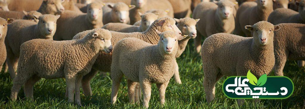 برای سوددهی پرواربندی گوسفند رعایت این نکات را به خاطر داشته باشید