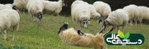 نفخ در گوسفند (پیشگیری، تشخیص، درمان)