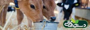 پرورش گوساله