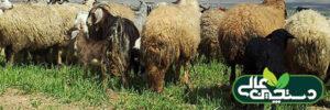 انگل های خارجی گله گوسفند را بشناسید و جدی بگیرید