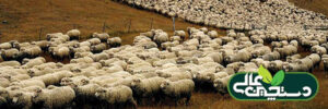 پرورش گوسفند و بز و گاو باید علمی شود تا رونق پیدا کند