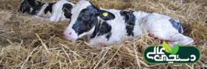 نگهداری گوساله شیرخوار