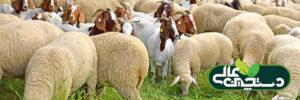 راهنمای پرورش گوسفند و تغذیه گوسفند و بز
