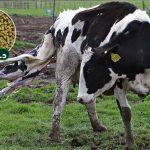 کنسانتره گاو تازه زا (خوراک گاو تازه زا) دستچین