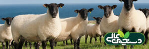 پرورش گوسفند نژاد سافولک و اصالت آن