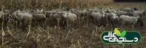 بیماری تب برفکی در گوسفند ، بز و گاو