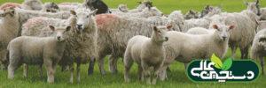 گوسفند نژاد شاروله ( معرفی و مشخصات ظاهری)