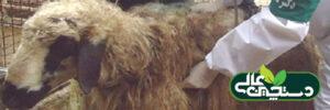 کوکسیدیوز در گوسفند تهدیدی در اقتصاد پرورش گوسفند (۱)