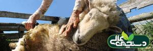 پشم چینی در پرورش گوسفند و اهمیت آن