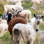 کنسانتره گوسفند پرواری و بز پرواری