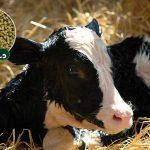 کنسانتره استارتر گوساله (خوراک آغازین گوساله) را از یک هفتگی بین 100 الی 200 گرم روزانه در اختیار گوساله قرار داده و متناسب با رشدگوساله مقدار را زیاد کنید