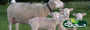 گوسفند نژاد ایل دوفرانس و اصالت آن