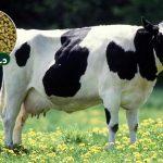 کنسانتره گاو شیری پرشیر دستچین بعنوان خوراک گاو شیری پرتولید جهت تغذیه گاو شیری با توان تولید 30 تا 35 کیلوگرم شیر طراحی و تولید شده است.