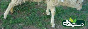 بیماری آرتریت در گوسفند و بز و پیشگیری و درمان آن