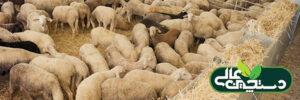 پرورش دام سبک و تغذیه گوسفند و بز بر پایه کنسانتره و علوفه