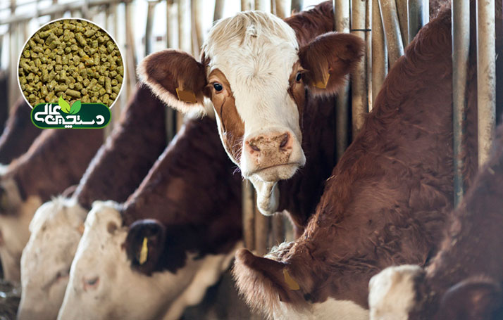 کنسانتره گوساله پرواری (خوراک گوساله نر) دستچین نیازهای گوساله برای رشد و افزایش وزن سریعتر را فراهم و با حفظ سلامت گوساله هزینه دارو و درمان را کاهش می دهد