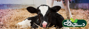 خوراک آغازین گوساله