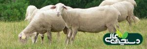 گوسفند نژاد لاکن (معرفی و مشخصات ظاهری)