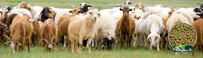 پرورش گوسفند و بز