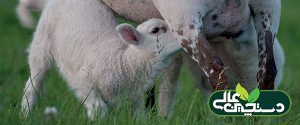آغوز میش ، آغوز بز ، آغوز گوسفند