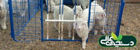 تغذیه خزشی بره و بزغاله یک روش متداول در صنعت پرورش گوسفند و بز است