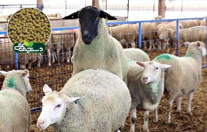 کنسانتره فلاشینگ گوسفند و بز