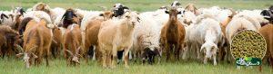 sheep goats 910x250
