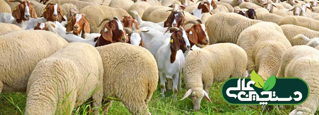 پرورش گوسفند و راهنمای عمومی تغذیه گوسفند و بز