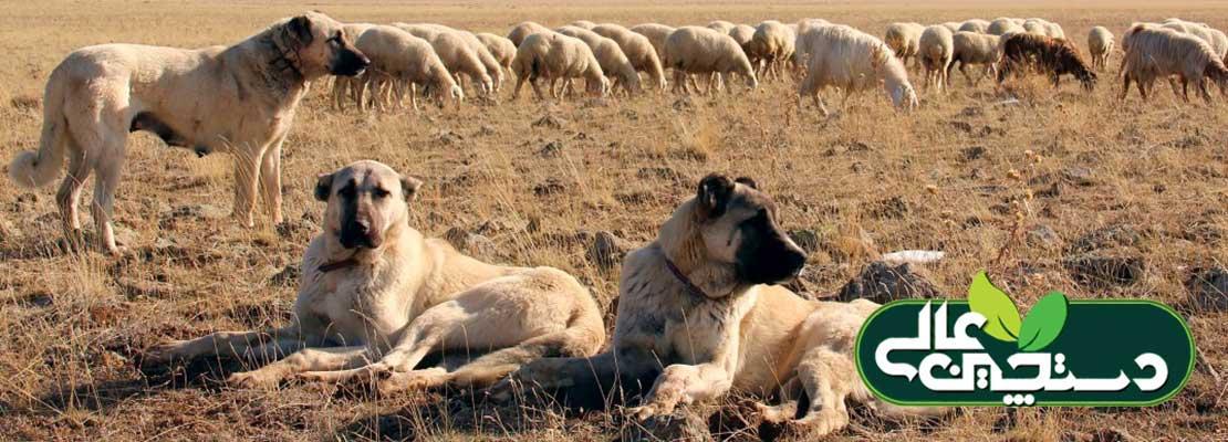 پرورش گوسفند و پیشگیری از سرقت دام در صحرا و دامداری