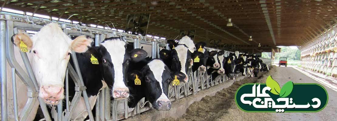 مدیریت اقتصادی گاوداری و دستورالعمل های بهبود وضع گاوهای خشک در پرورش گاو شیری