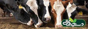 فضای آخور و استال بر رفتار گاو تأثیرگذار است