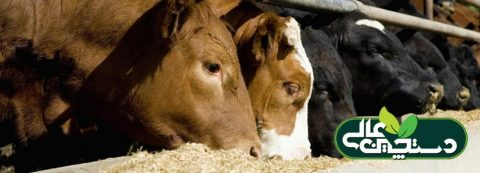 جیره گاو شیری متوازن و بهبود شیردهی