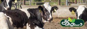 مدیریت نشخوار گاو شیری در مزرعه پرورش گاو شیری
