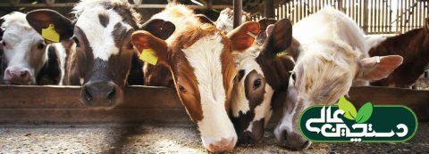 راه اندازی مزرعه نژادهای ممتاز گاو و گوساله گوشتی