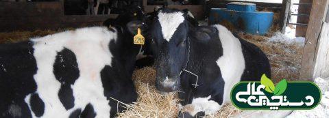 جایگاه گاو خشک در دوره انتقال باید فضای کافی برای استراحت و خوردن گاوها فراهم کند