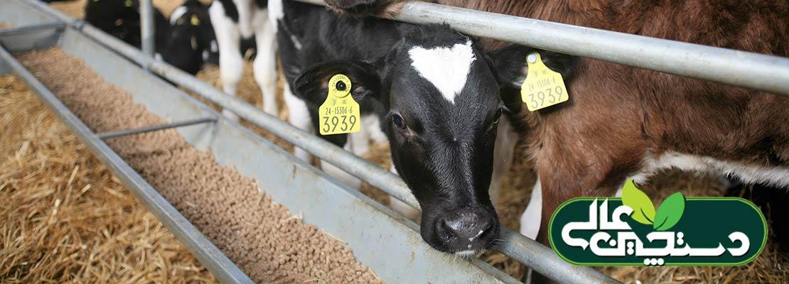 تغذیه گوساله بوسیله استارتر گوساله یا همان جیره آغازین گوساله باضافه شیر مادر توازن ماده خشک روزانه گوساله را برای ایجاد بهترین شرایط رشد فراهم می آورد