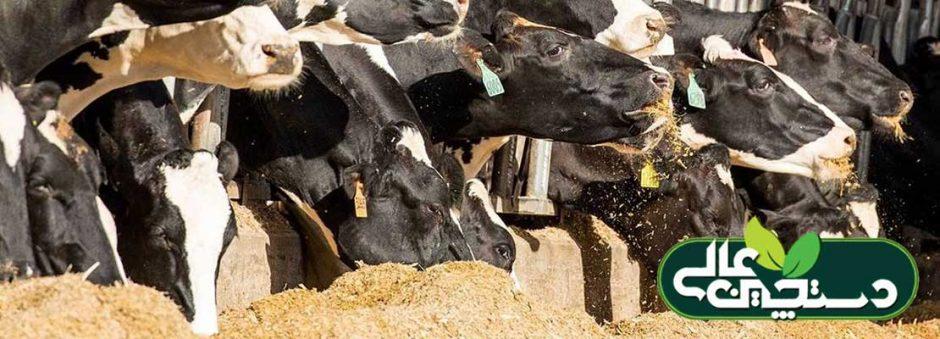 بازدهی خوراک گاو شیری