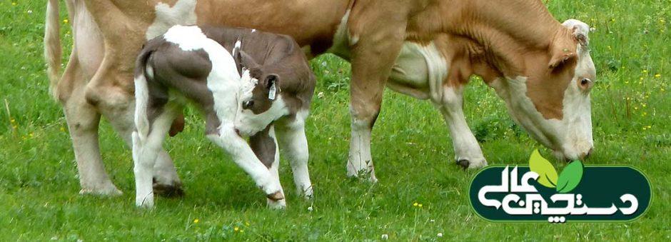 گاو فلکویه آلمان یک نژاد دومنظوره شیری گوشتی