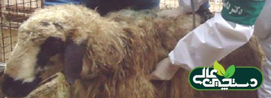 بیماری کوکسیدیوز در گوسفند