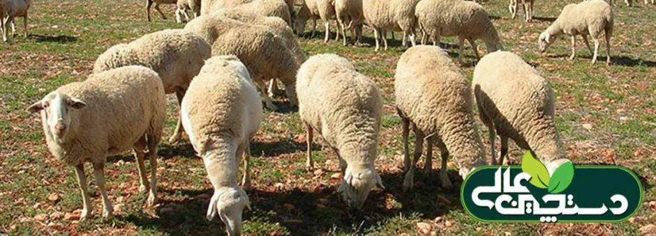 مسمومیت مس در گوسفند و بز و پیشگیری و درمان
