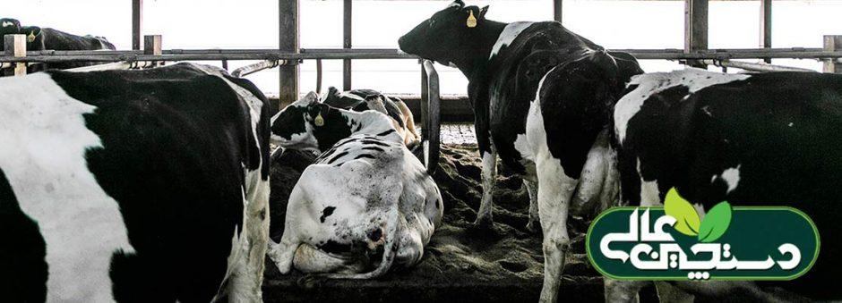 گاو خشک با چه مشکلاتی روبرو است؟