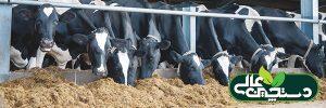 بازدهی خوراک گاو شیری تحت تأثیر آنزیم افزایش می یابد؟