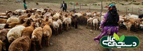 مصرف خوراک دام با استفاده از تسهیلات صندوق توسعه ملی و با سود 4 درصد برای استفاده دامداران