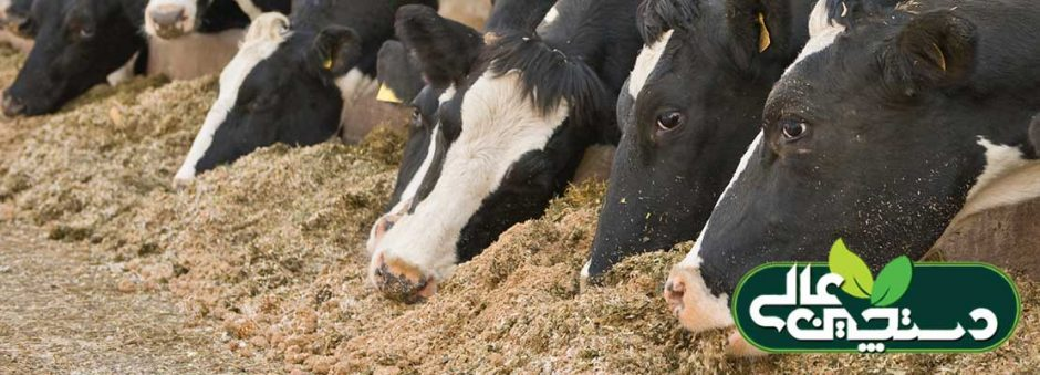 تغذیه گاو شیری بر پایه میکروب های شکمبه ای استوار شده است