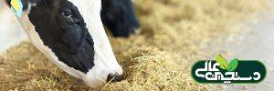 جمعیت میکروبی شکمبه گاو شیری باید متوازن باشد