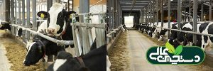 اقتصاد گاوداری را با گروه بندی صحیح گاوها بهتر کنید