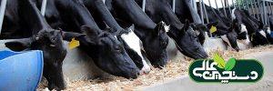 مدیریت گاو شیری از مرحله قبل از زایمان تا پس از زایمان