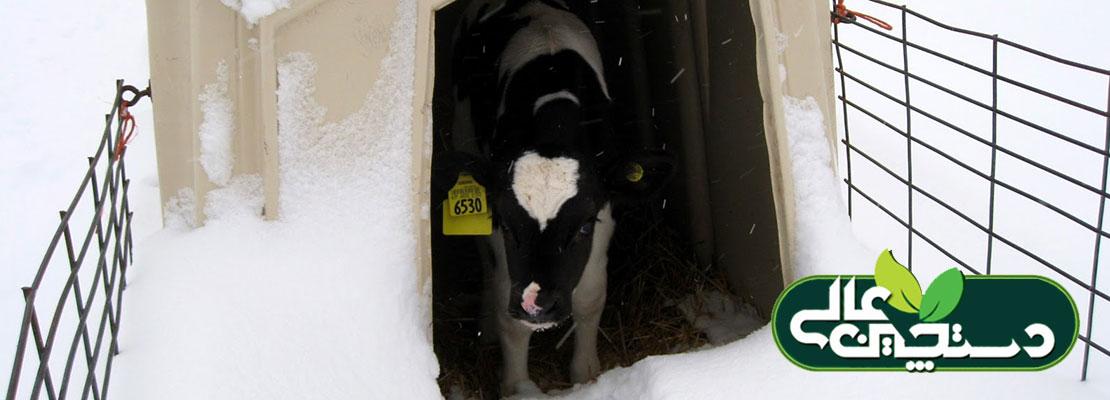 خوراک گوساله ها در فصل زمستان به علت کاهش دما و افزایش نیازهای تغذیه ای متفاوت است و جیره زمستانی می تواند به رشد و بهبود سلامتی آنها کمک کند