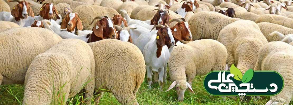 بیماری سنگ ادراری گوسفند و بز