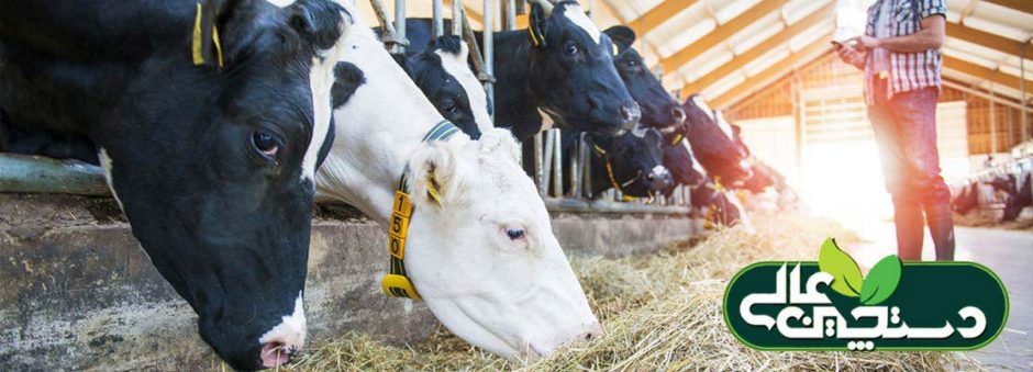 جیره گاو و سلامت گاو به یکدیگر وابسته هستند و متخصص تغذیه دامداری رابطه بین خوراک و عملکرد و سلامت گاو را در بهترین حالت ممکن ثابت نگه می دارد